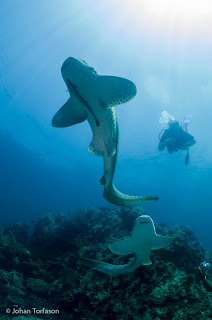 Leopard Sharks at Phuket Shark Point - Phuket Diving Image taken by Johan Torfason