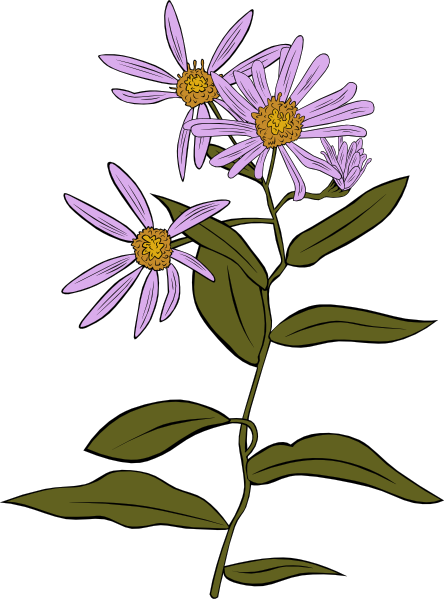 Aster Drawing