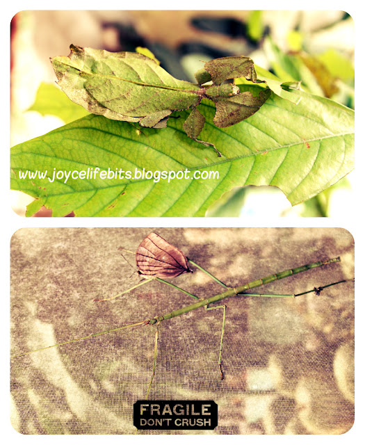 name of insect that looks like leaf and insects that look like tree branch