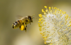 What are the benefits of bee pollen?