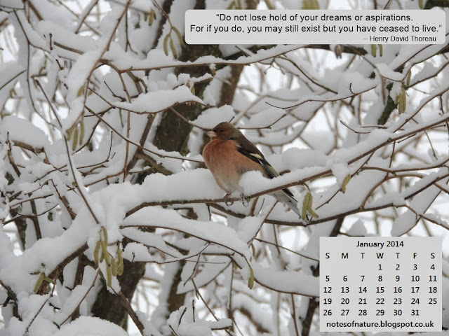 Chaffinch photo for your desktop
