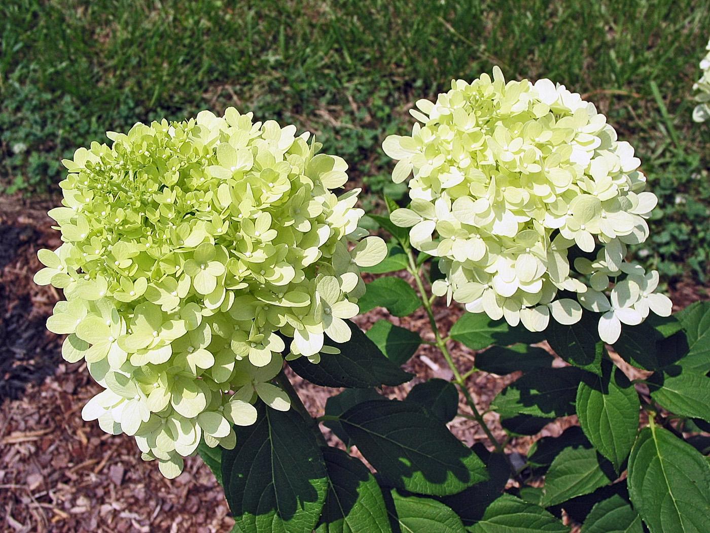 Dr dan 39 s garden tips the range of hydrangea for Limelight hydrangea