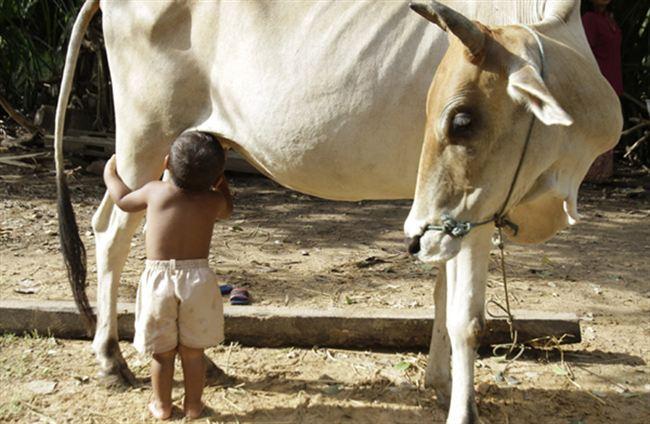 Budak hisap susu dari tetek lembu