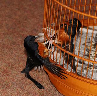 Burung Anis Binbin