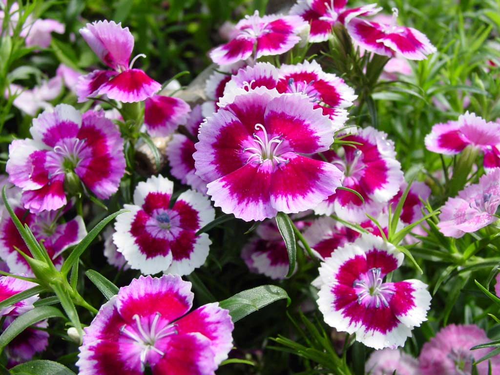 Romantic flowers petunia flowers for Plantines ornamentales
