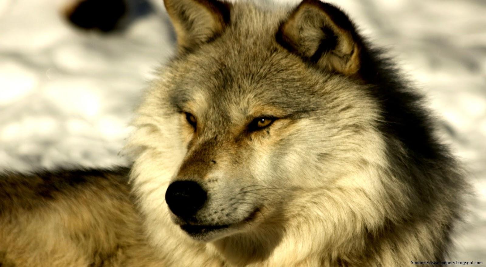 Wolf Animal Wallpaper