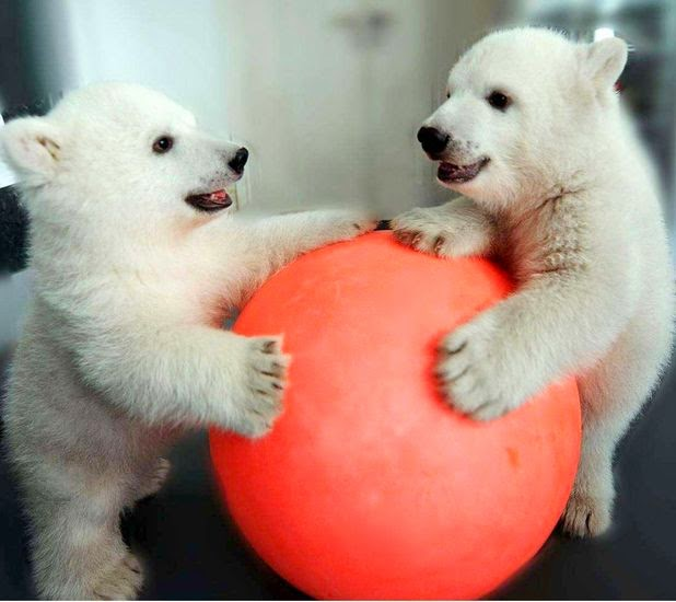 Funny animals of the week - 21 March 2014 (40 pics), funny animal pictures, two baby polar bears playing with red ball