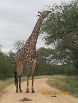 Giraffe feeding, near Skukuza Camp, Kruger National Park, South Africa
