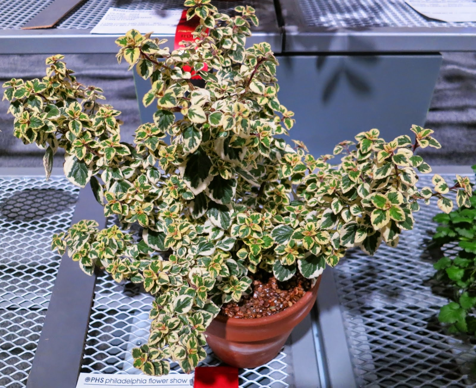 New Variegated Houseplant