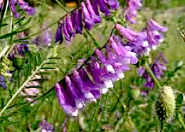 https://fr.wikipedia.org/wiki/Vicia