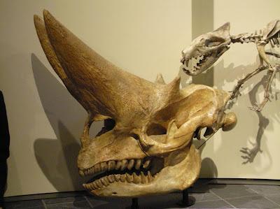 Arsinoitherium skull