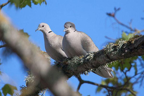 Aasta lind - turteltuvi