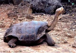 The+Pinta+Island+Tortoise