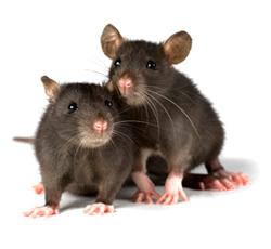 Cerita Motivasi 2 Ekor Tikus