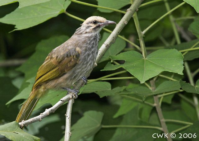 Foto Burung Cicak Rawa