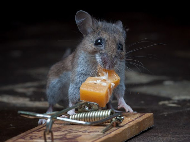Mouse and cheese in a mousetrap, Paul Turton, mouse photos