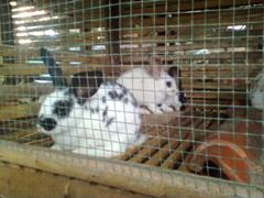 kelinci-3