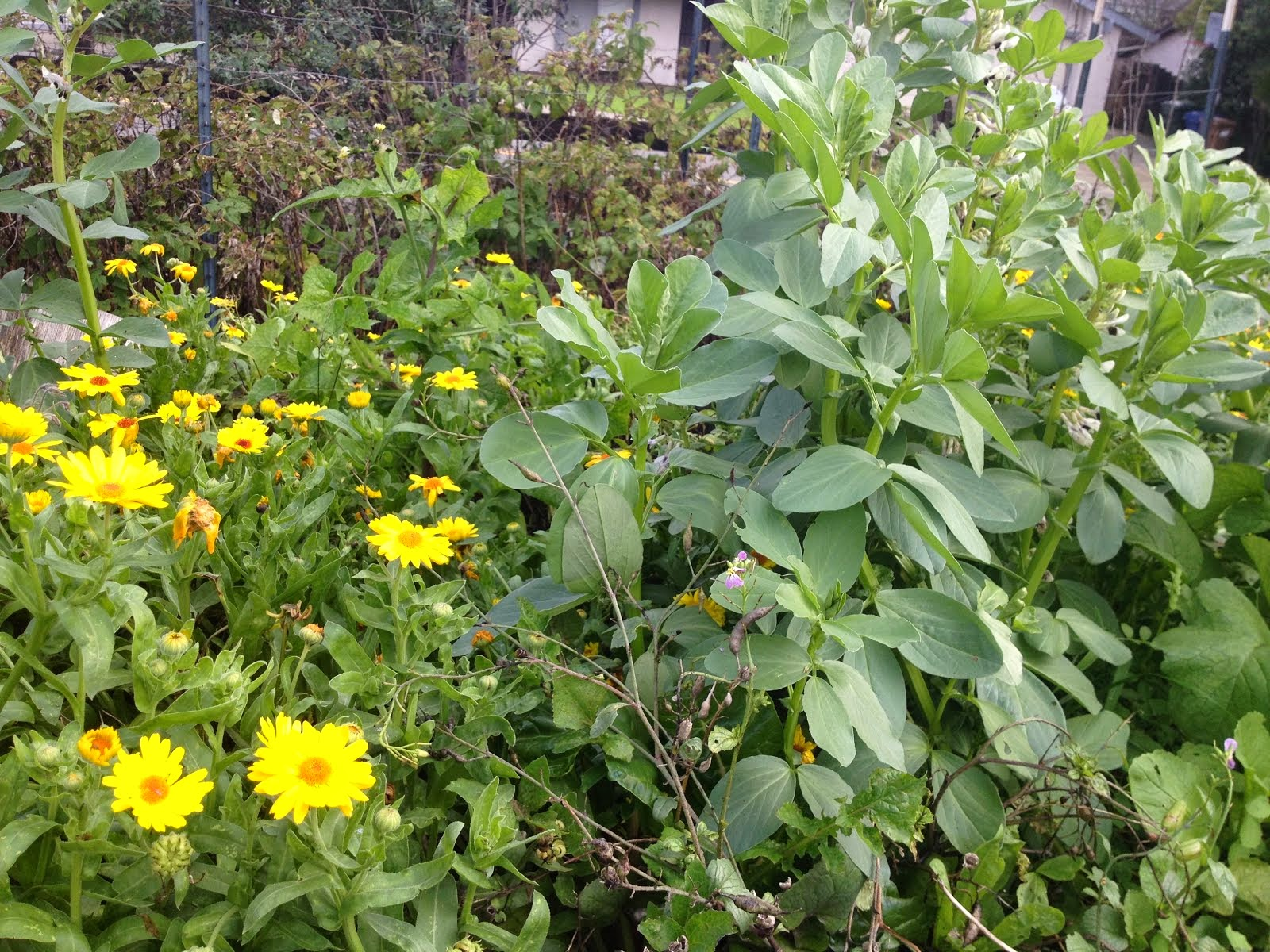 Calendula and Fava Beans as a cover crop