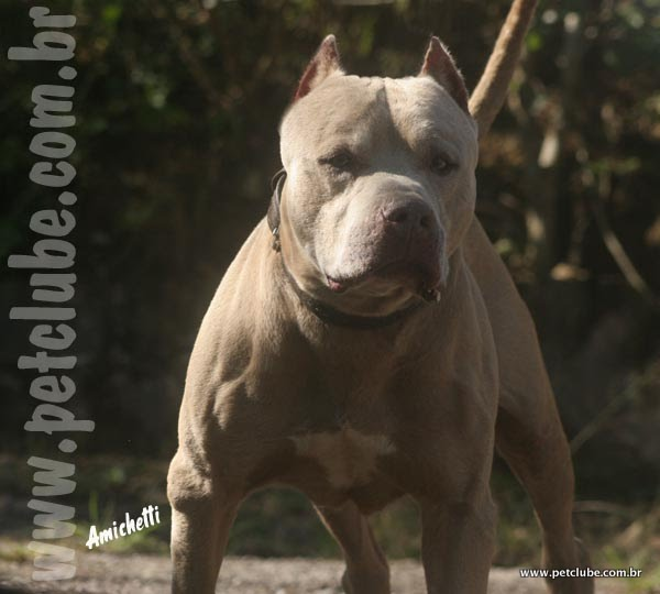 AMERICAN BULLY Cães Canil Filhotes Blue Lilac Chocolate