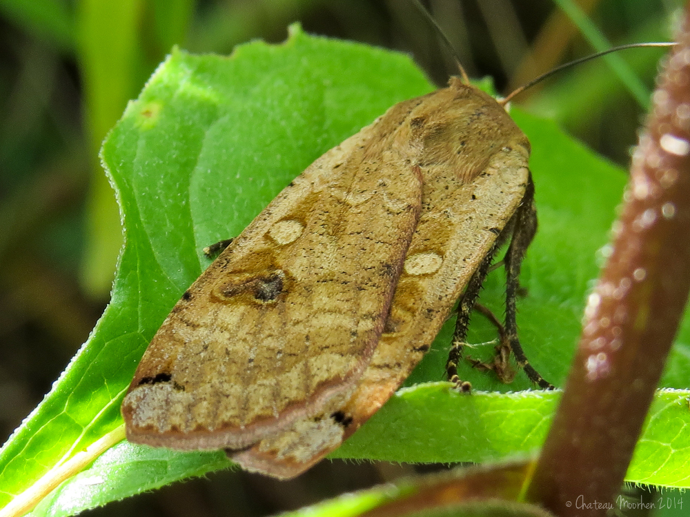 Chateau Moorhen: Moths and moth caterpillars seen recently