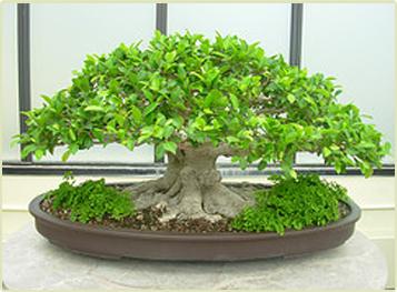 pohon bonsai beringin