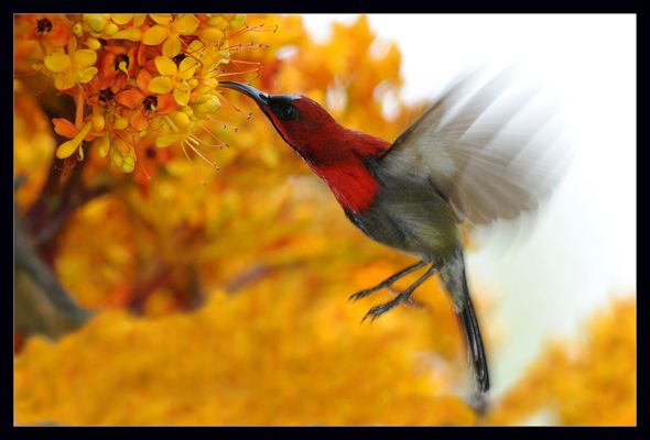 Hovering Crimson Sunbird (Aethopyga siparaja) feeding nectar from the Saraca flowers