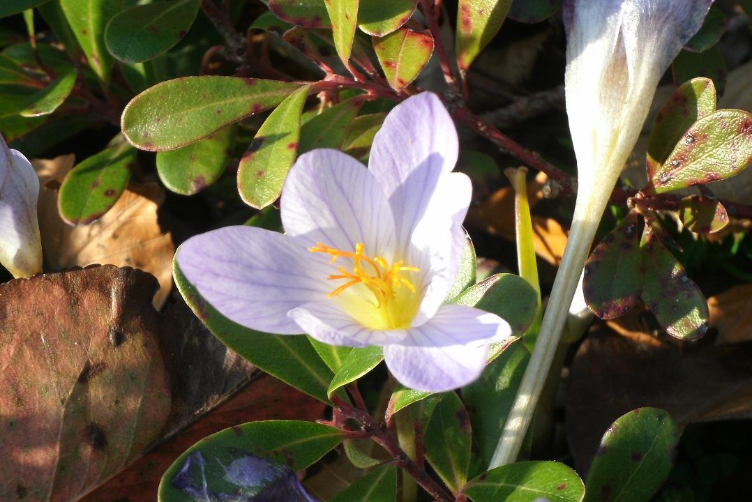 detail_autumn_crocus_colchicum_autumnale_toronto_botanical_garden_by_garden_muses_a_toronto_gardening_blog