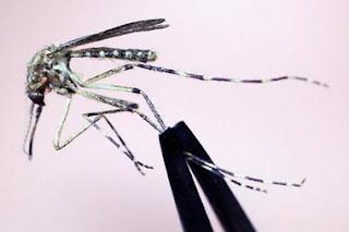 Huge Florida mosquitoes