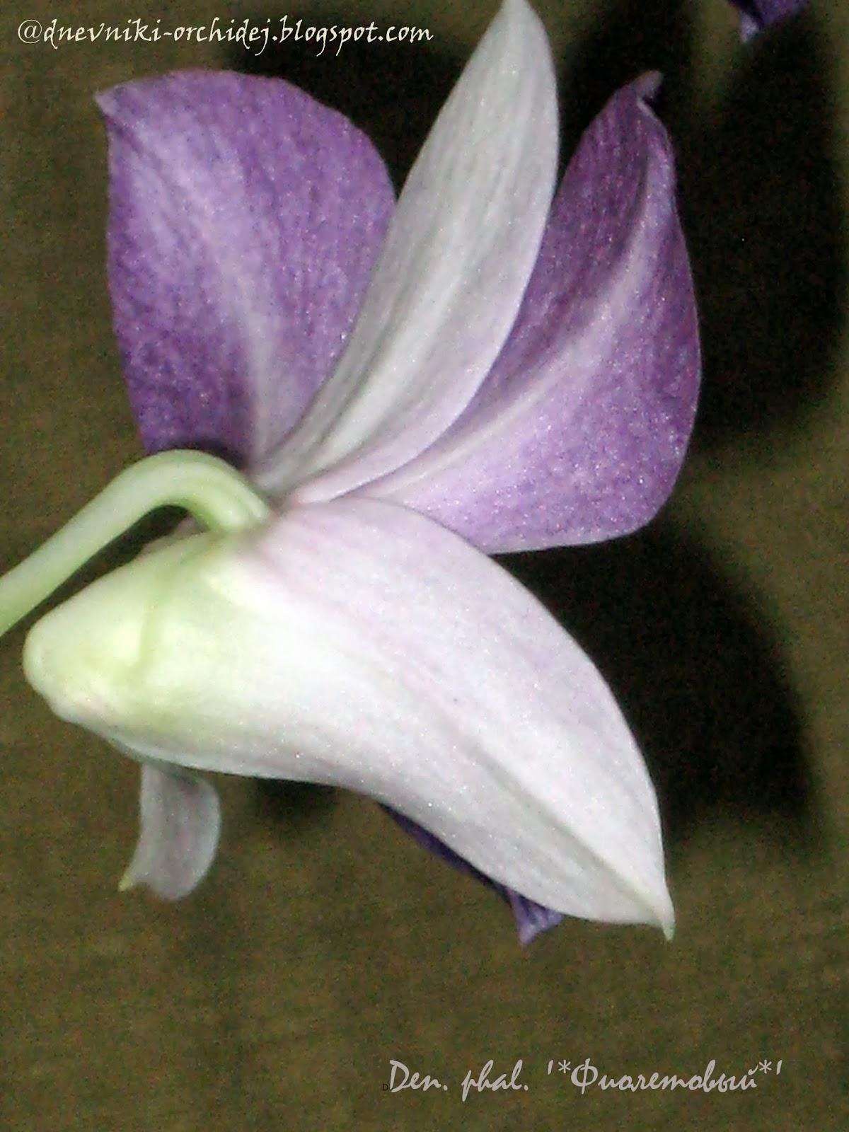 Цветок-капюшончик дендробиума фаленопсиса Фиолетового