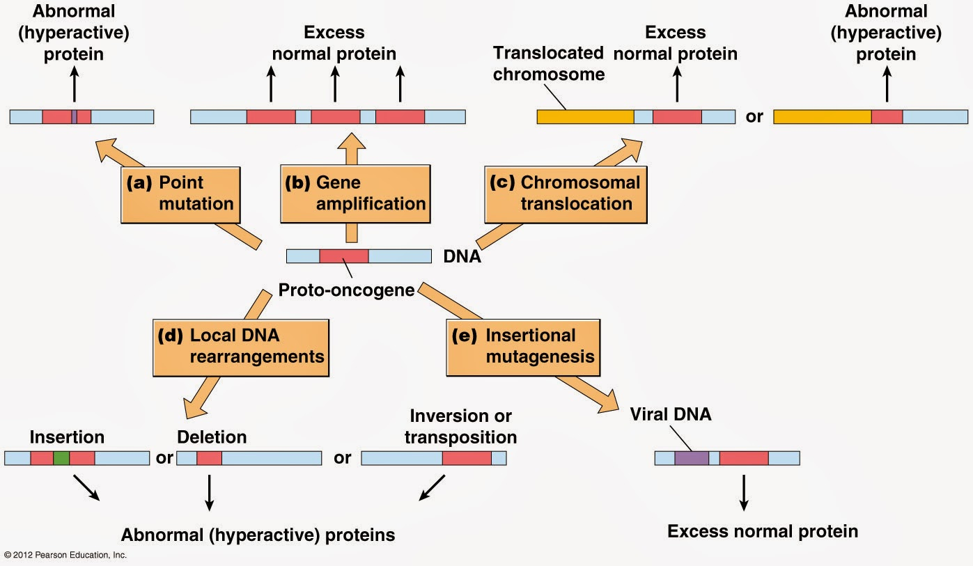 we also learned about the suppressor gene p53 upon cellular stress particularly that induced by dna damage p53 can arrest cell cycle progression