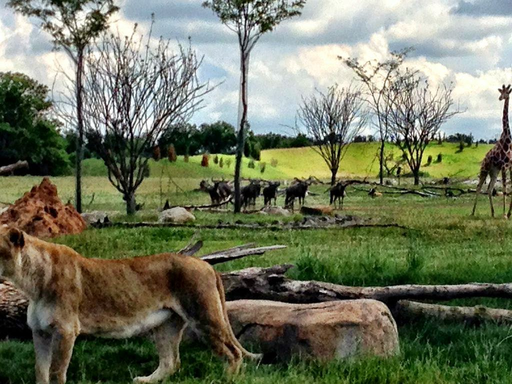 Lion, giraffe and Wildebeasts at zoo.