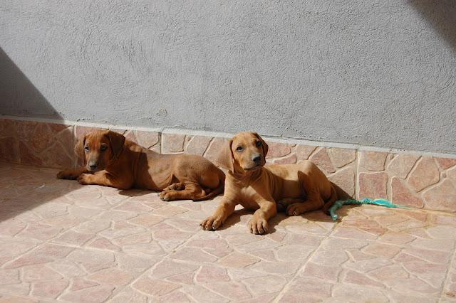 Cachorros machos Rhodesian Ridgeback