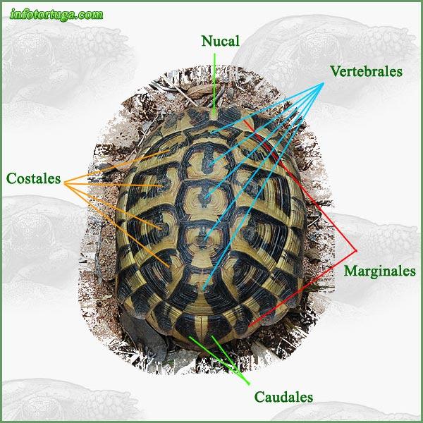 Mi diario tortuga: Anatomía del caparazón