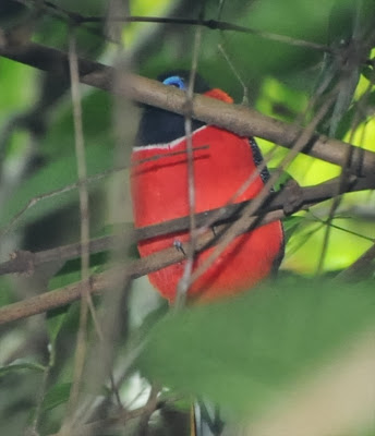 Red-naped Trogon (Harpactes kasumba)