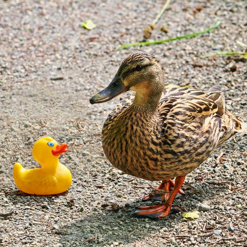 rubber ducky, toy duck, mother duck, mallard duck
