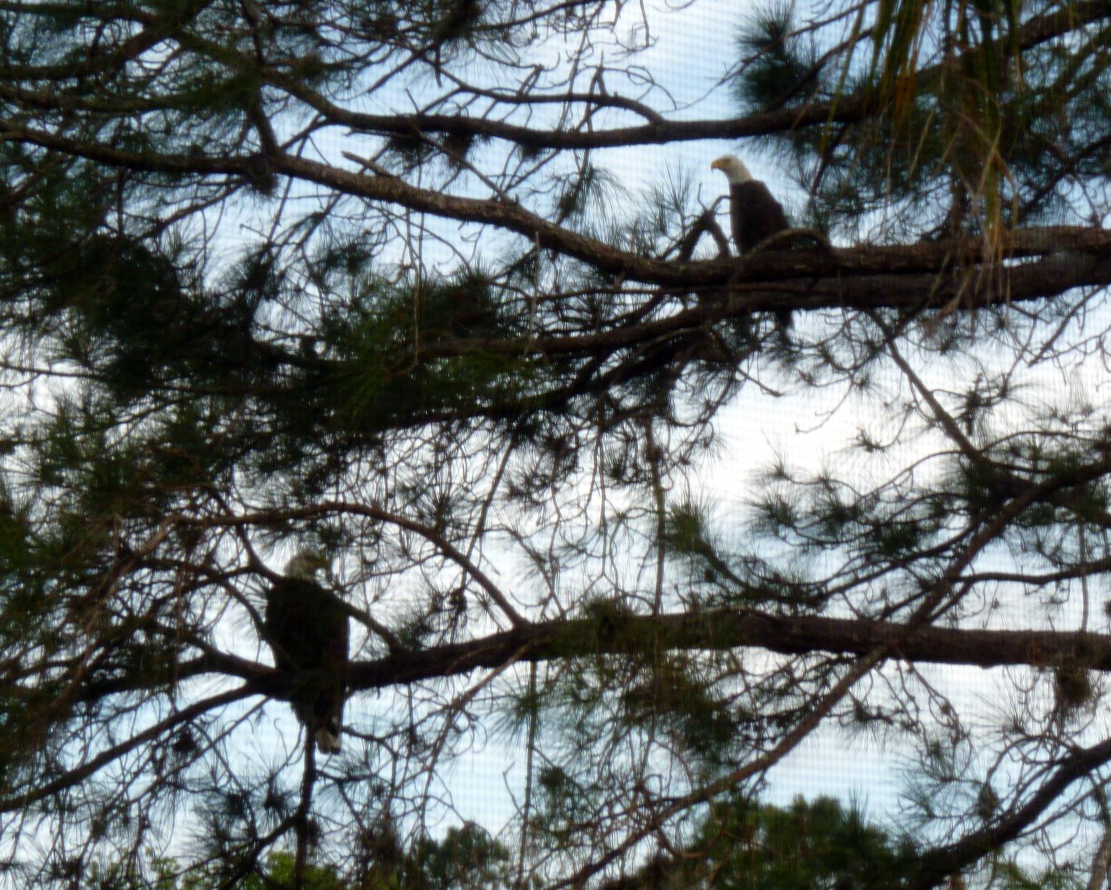 my florida backyard fly like an eagle