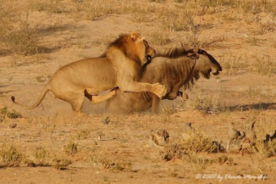 Lion Hunting Photos
