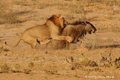 Lion Hunting Photos