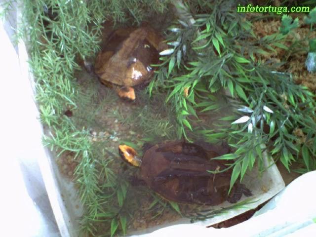 Platemys platycephala bañándose