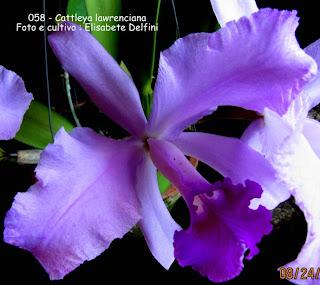 Cattleya lawrenciana tipo  do blogdabeteorquideas