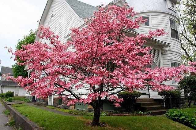 Flower image gallery dwarf pink flowering dogwood tree for Flowering dwarf trees for landscaping