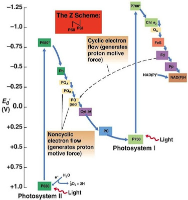 Reaksi Fotosintesis pada Cyanobacteria