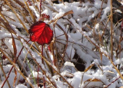 red leaf against snow