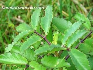 manfaat daun cocor bebek