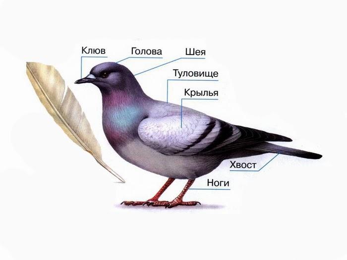У птиц есть голова, туловище,