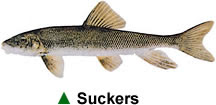 Suckers - Source: Erie.gov