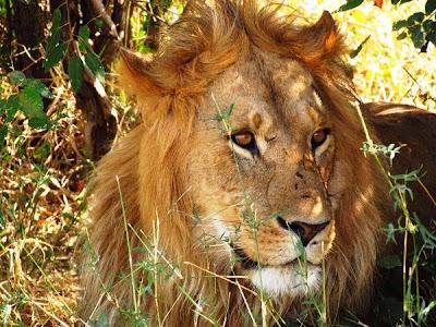 leon, león, animal africa, animales africa, Kenya, Africa