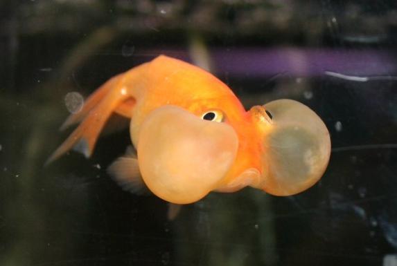 Blue bubble eye goldfish - photo#14