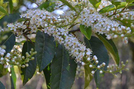 Azereiro (loureiro-de-Portugal, ginjeira-brava) Prunus lusitanica L. subsp. Lusitânica