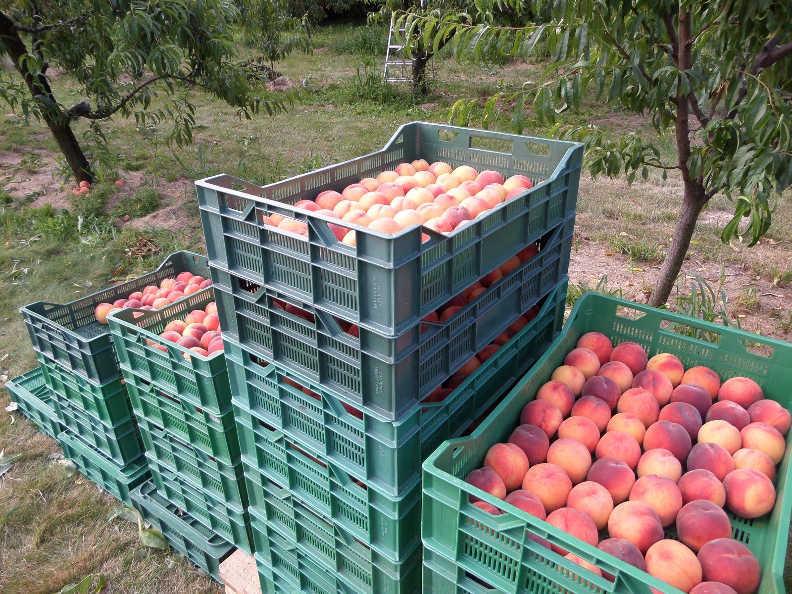 Brzoskwiniowy sad poleca owoce świeże, zdrowe i ekologiczne